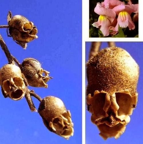 نبتة ازهارها تتحول جماجم!